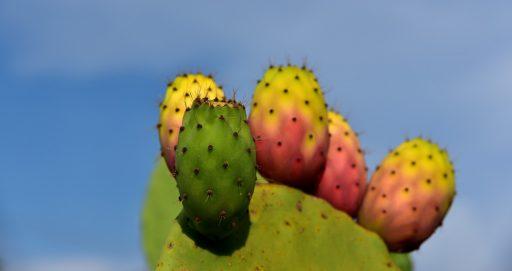 Nopal: 10 Beneficios y Propiedades curativas (Opuntia) 9