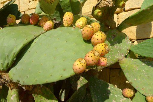 Planta del Nopal: Características y Beneficios 2