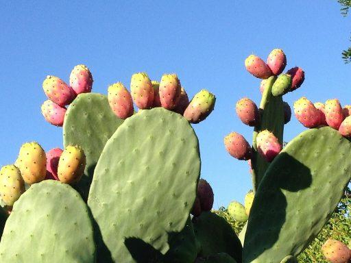 Usos del Nopal: Medicinales y naturales 3