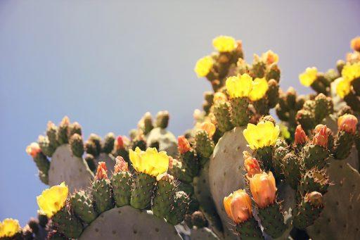 Nopal: 10 Beneficios y Propiedades curativas (Opuntia) 6