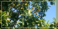 cultivo del lúcumo