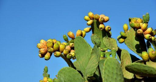 Nopal: 10 Beneficios y Propiedades curativas (Opuntia) 1