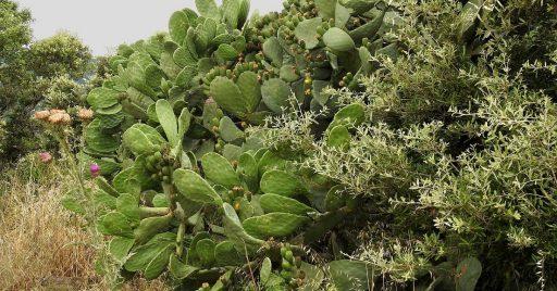 nopal planta