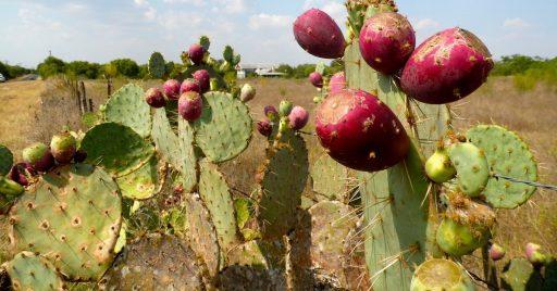 Usos del Nopal: Medicinales y naturales 1