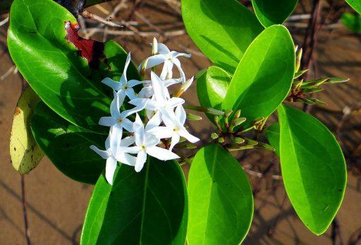 Carissa o Carissa Marcocarpa: Beneficios y Propiedades 4