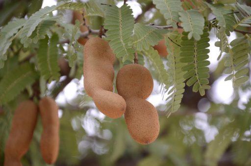 Árbol del Tamarindo y su Cultivo - Bonsai 3