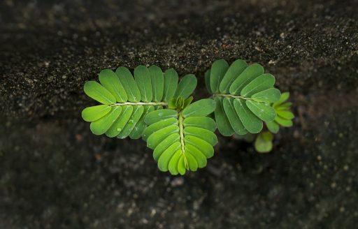 Árbol del Tamarindo y su Cultivo - Bonsai 4
