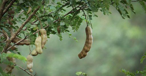 Árbol del Tamarindo y su Cultivo - Bonsai 1