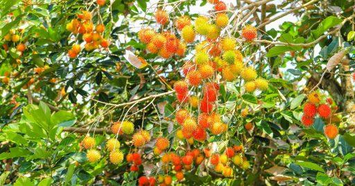 ¿Cómo sembrar Rambutan? Cultivo en parcelas o macetas 1