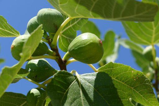 Higuera (Ficus carica): La Planta del Higo y su Cultivo 2
