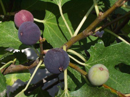 Higuera (Ficus carica): La Planta del Higo y su Cultivo 3