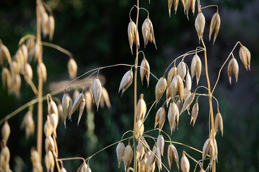 Planta de Avena y su cultivo|   Plagas y Enfermedades 3