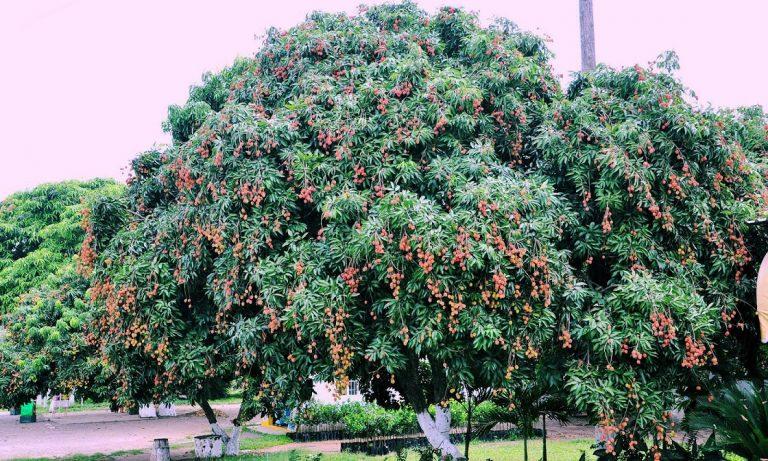 Planta de Lichi – Cómo sembrar la planta 2