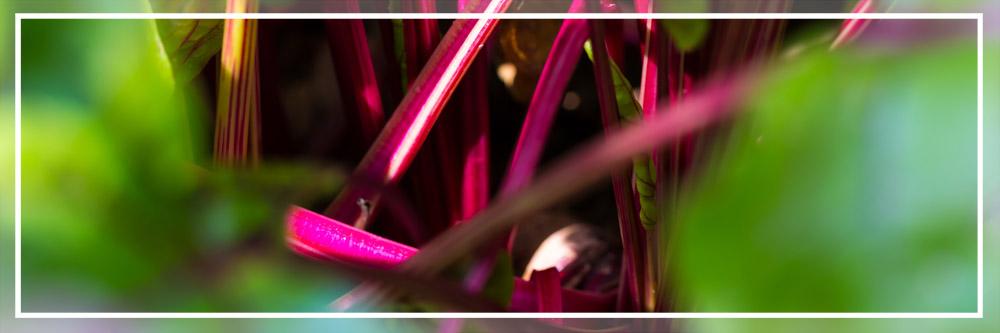 La imagen tiene un atributo ALT vacío; su nombre de archivo es cultivo-remolacha-betabel-roja-mexico-chile.jpg