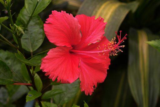 Hibisco: 8 Beneficios y Propiedades muy significativas 10