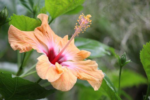 Hibisco: 8 Beneficios y Propiedades muy significativas 2