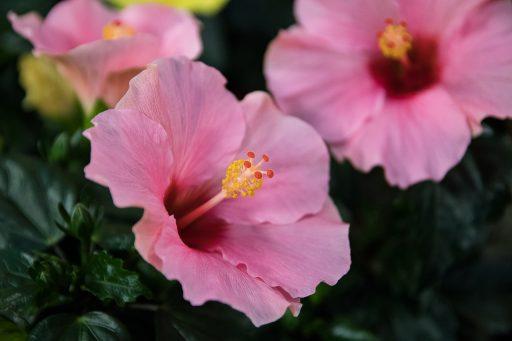 Hibisco: 8 Beneficios y Propiedades muy significativas 3