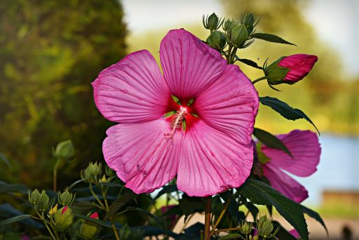 Hibisco: 8 Beneficios y Propiedades muy significativas 4