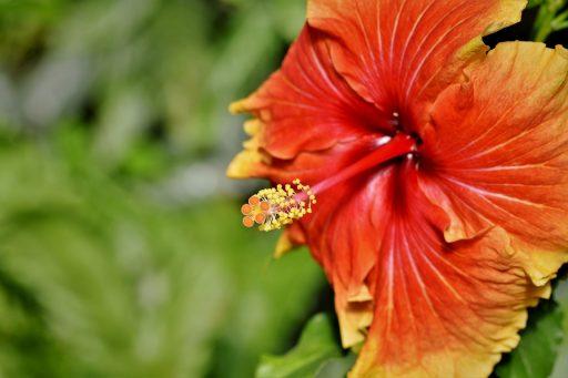 Hibisco: 8 Beneficios y Propiedades muy significativas 6