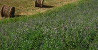 Cultivo de la Semilla de Alfalfa y sus Variantes 2