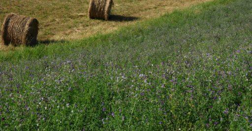 Cultivo de la Semilla de Alfalfa y sus Variantes 1