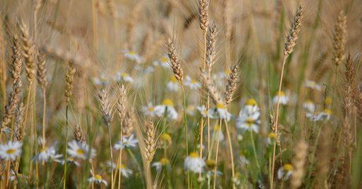 Planta de Avena y su cultivo|   Plagas y Enfermedades 2