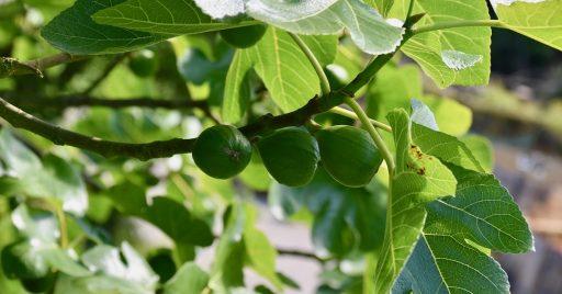 Higuera (Ficus carica): La Planta del Higo y su Cultivo 1
