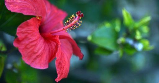 Hibisco: 8 Beneficios y Propiedades muy significativas 1