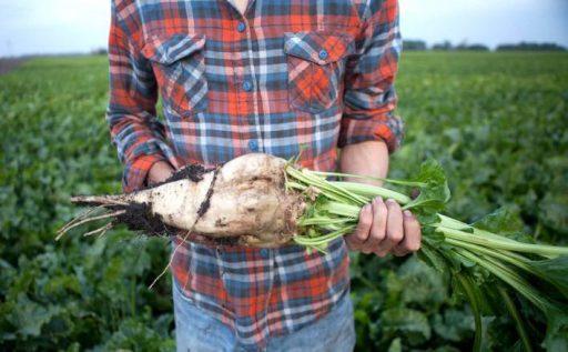 Remolacha Azucarera: Proceso, Cultivo y Diferencias 1