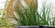 La planta de Cebollino o Cebollín: Siembra y Cuidados 2