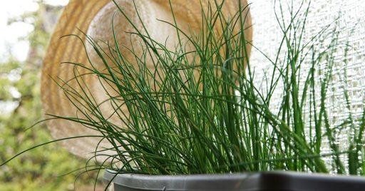 La planta de Cebollino o Cebollín: Siembra y Cuidados 1