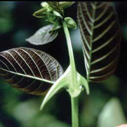 La Uña de gato: Beneficios y usos de la planta medicinal 3