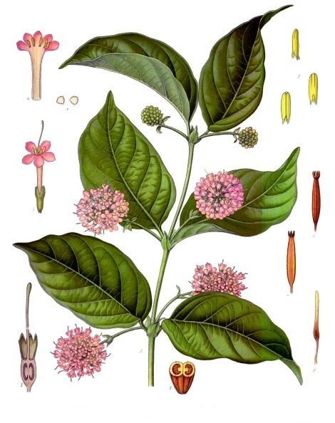La Uña de gato: Beneficios y usos de la planta medicinal 2