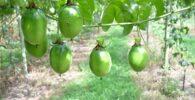 Cultivo de la planta de Maracuyá: Detalles 4
